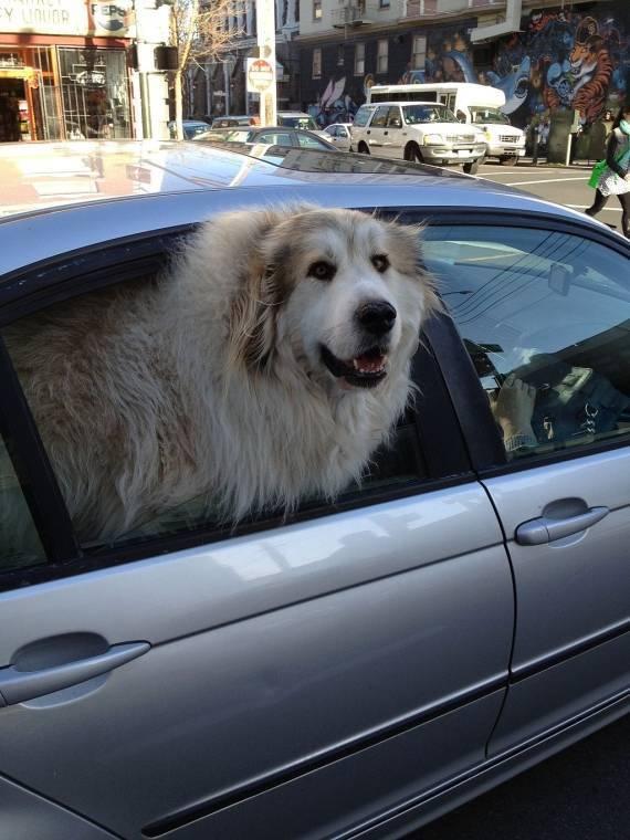 Perro sacando la cabeza por la ventanilla