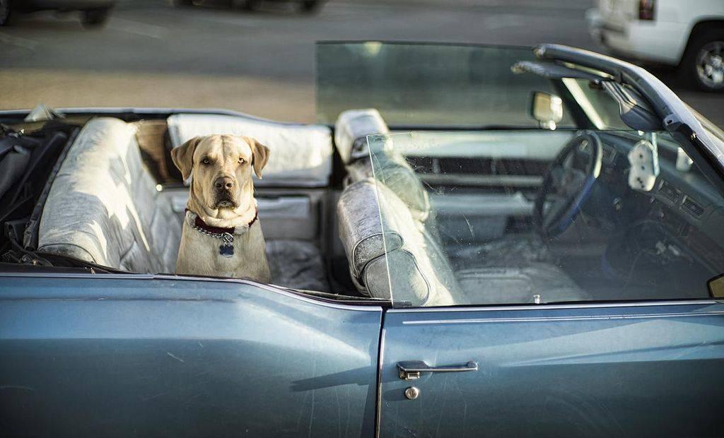 Labrador subido en un coche