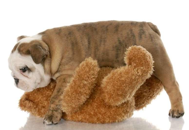 La conducta de monta en los perros