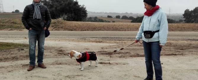 Educando a su perro beagle