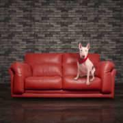 Bullterrier blanco en un sofá rojo