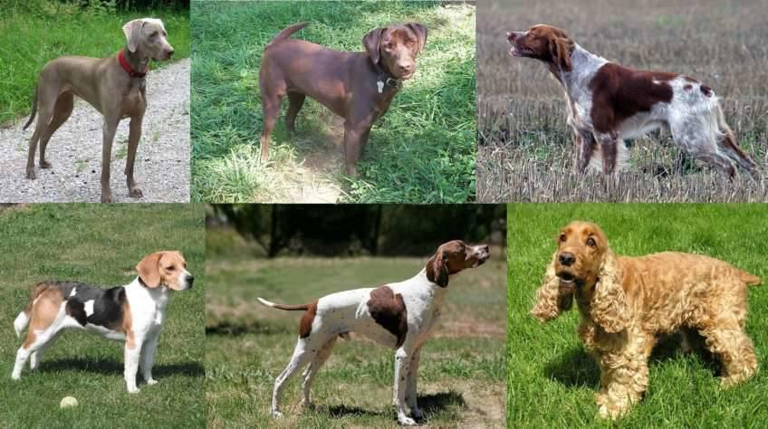 Perros de caza, bracos y retriever