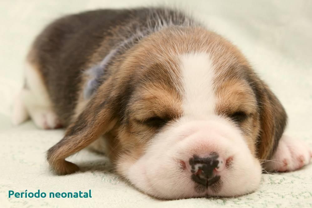 El cachorro: período neonatal