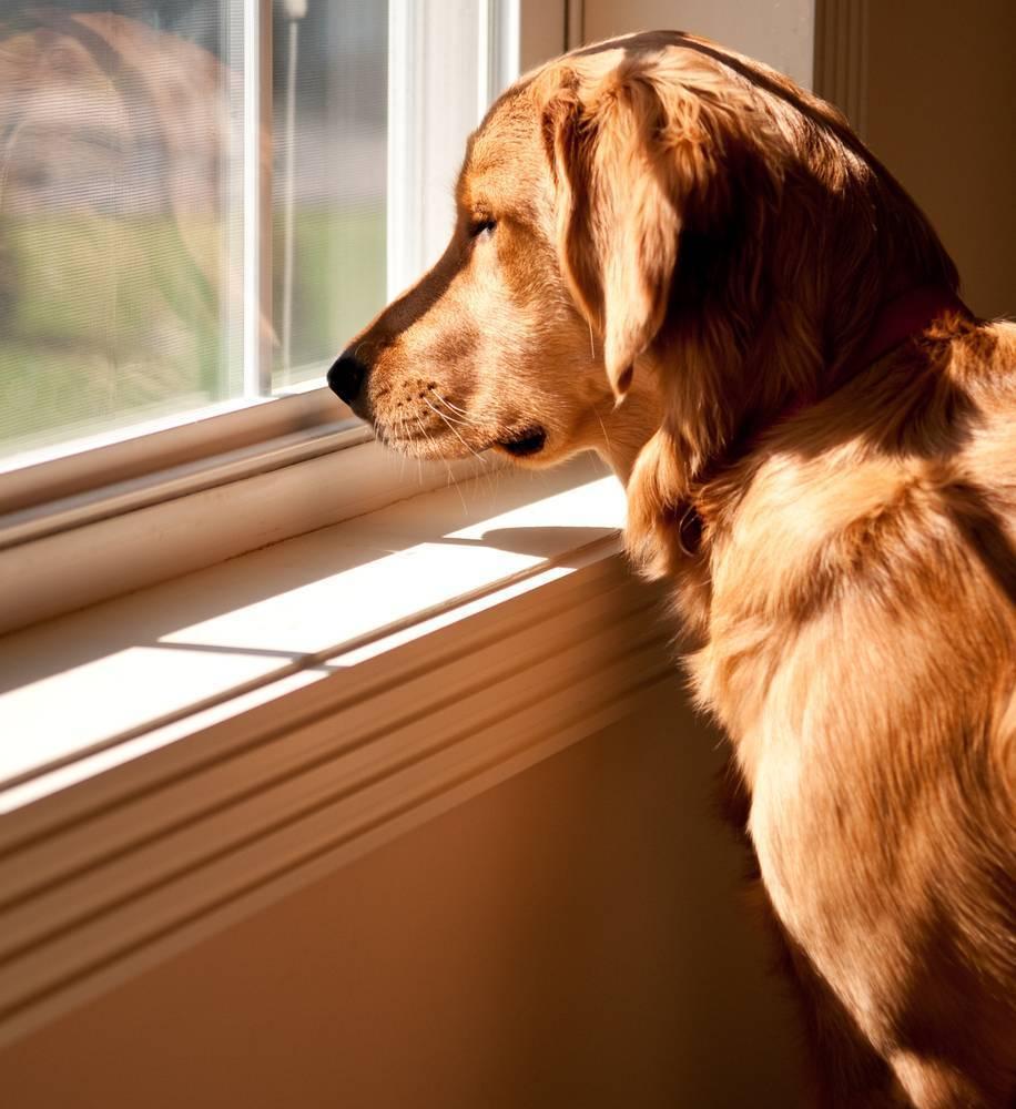 Adaptación de un perro adoptado para quedarse solo en casa