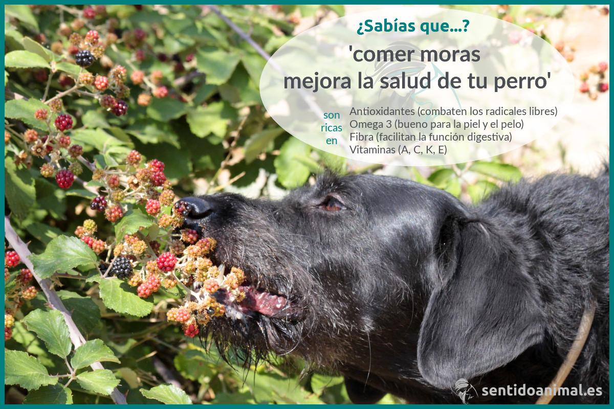 ¿Sabías que comer moras mejora la salud de tu perro?