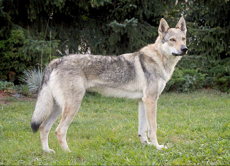 Preguntas y respuestas sobre… El Perro Lobo Checoslovaco
