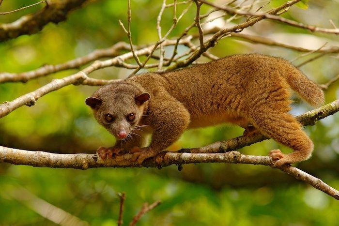 Animales exóticos: el Kinkajú
