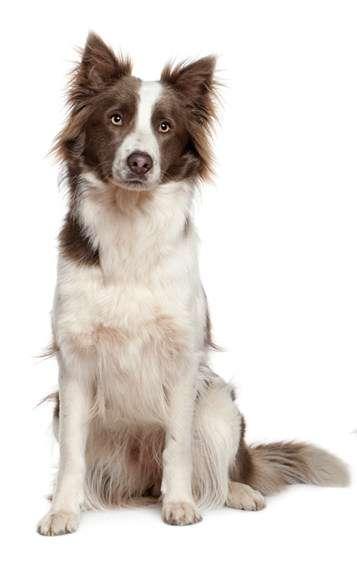 Border Collie - raza de perro