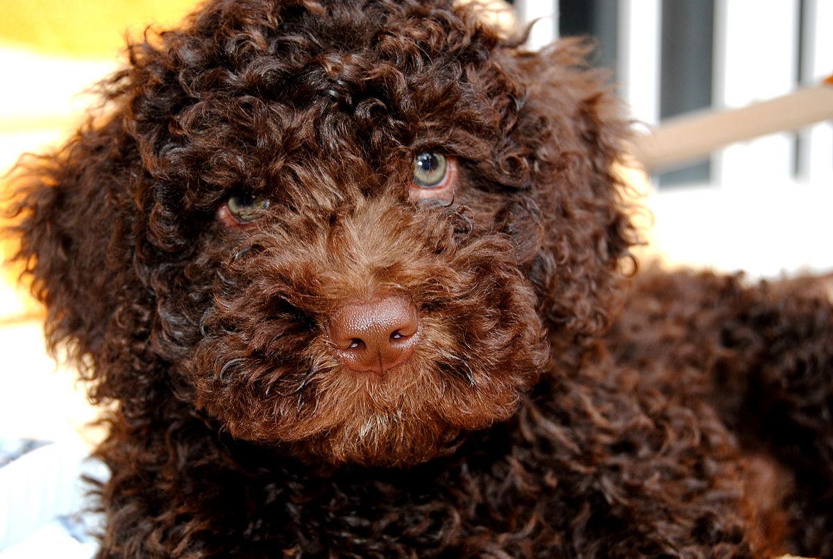 Perros de agua español - cachorro