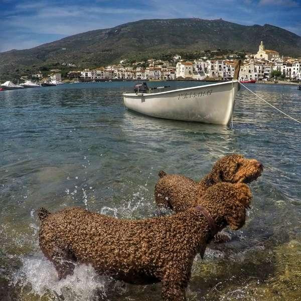 Perros de agua español junto a una barca