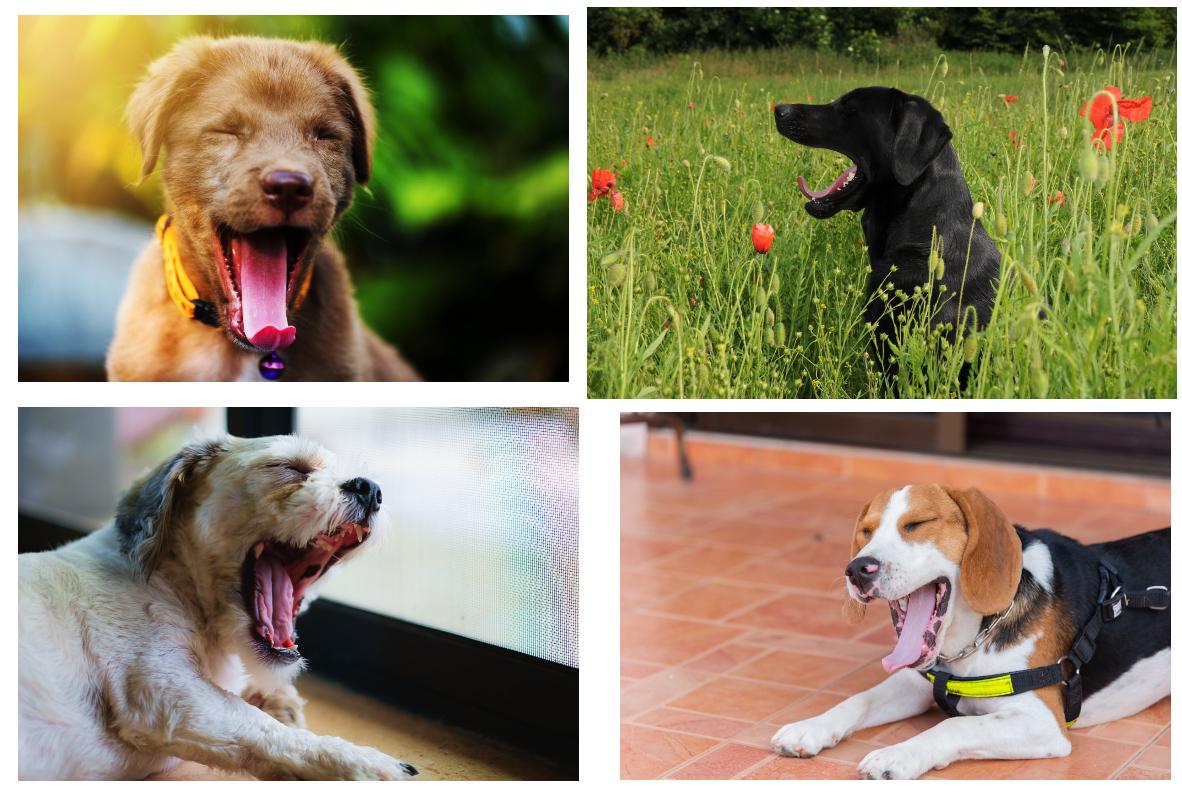 Bostezo de perros